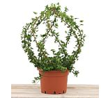 Live Ivy Spiral Topiary, Globe, 36