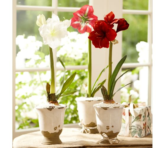 Live Amaryllis Bulb In Tuscan Cachepot Pottery Barn