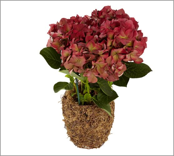 Live Vintage Harvest Red Hydrangea Plant in Moss Pot