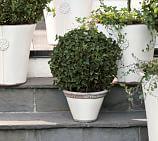 Live Ivy Globe Topiary, 8