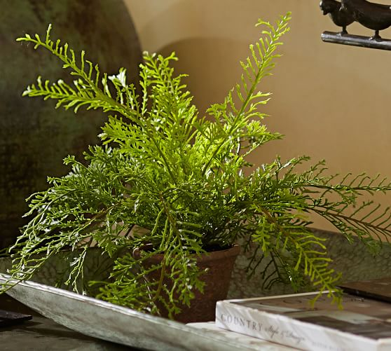 Potted Asparagus Fern Pottery Barn
